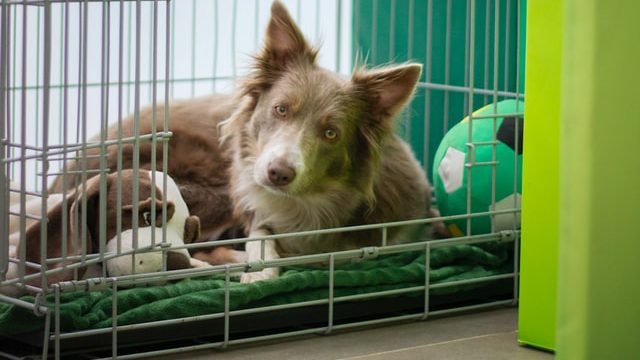 Dog looking out from a dog kennel - when you plan to travel abroad with your dog, get it comfortable with the carry kennel