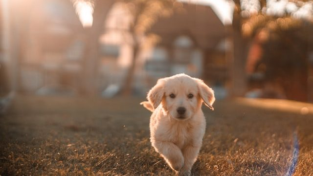 Travel abroad with your dog - golden retriever puppy runs in the grass